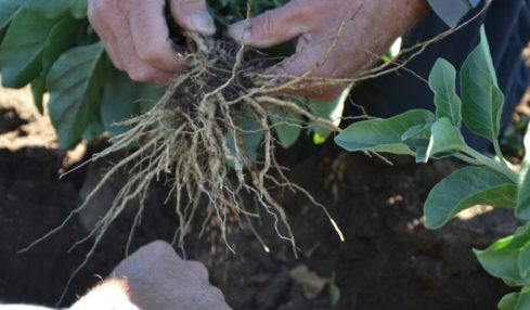 Farmers handling astragalus roots in the field.